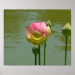 Lotus in der Blüte Plakatdruck