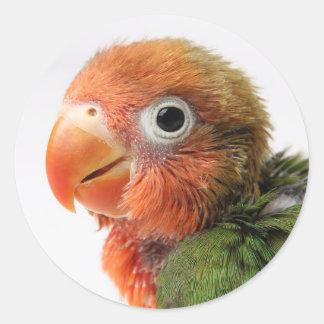 Lovebird-Küken| Agapornis papillero Runder Aufkleber