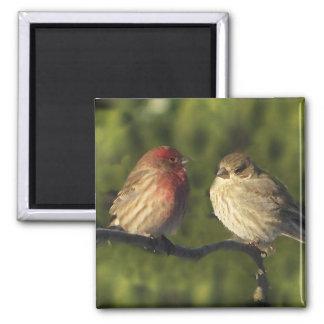 Lovebirds-Haus-Fink-Vögel Quadratischer Magnet