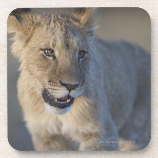 Löwe CUB (Panthera Löwe) | Namibia Untersetzer