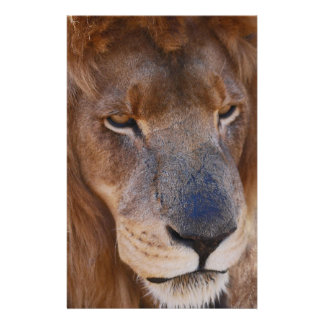 Löwe-Geschichte in Südafrika Briefpapier