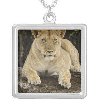 Löwe, Panthera Löwe, Serengeti Nationalpark, Versilberte Kette