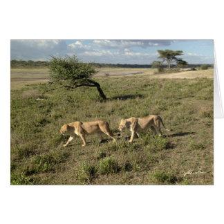 (Löwe-Vereine) zwei Löwin-Gehen (Ndutu Bereich) Karte