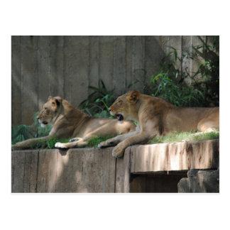 Löwen an der Erholung Postkarte