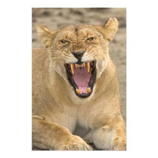 Löwin-Knäuel B, Ostafrika, Tansania, Photographischer Druck