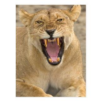 Löwin-Knäuel B, Ostafrika, Tansania, Postkarte