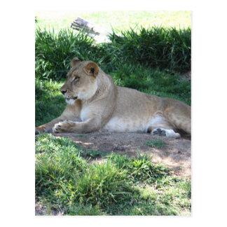 Löwin Postkarte