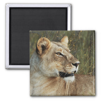 Löwinsafarimagneten - fertigen Sie besonders an Quadratischer Magnet