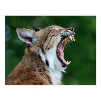 Luchs, schöne Fotopostkarte des Bobcat Postkarte