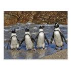 lustige afrikanische Pinguine, Cape Town Postkarte