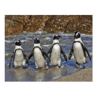 lustige afrikanische Pinguine, Cape Town Postkarten