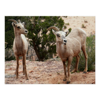 Lustige Bighorn-Schafe an Zion Nationalpark Poster
