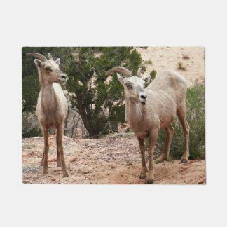 Lustige Bighorn-Schafe an Zion Nationalpark Türmatte