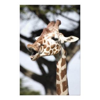 Lustige gegenübergestellte retikulierte Giraffe, S Fotografischer Druck
