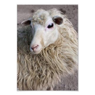 Lustige Schafe Photographischer Druck