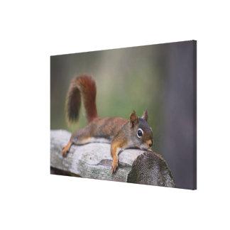 Lustiges Eichhörnchen Leinwanddruck