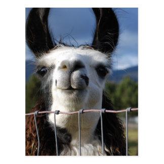 Lustiges lächelndes Lama in Südoregon Postkarten