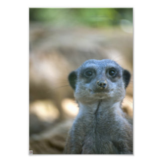 Lustiges Meerkat Kunstphotos