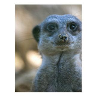 Lustiges Meerkat Postkarte