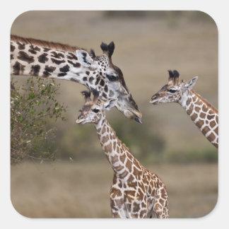 Maasai Giraffe (Giraffe Tippelskirchi) wie gesehen Quadratischer Aufkleber
