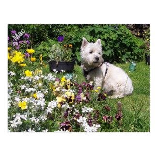 Mac, Westhochland weißes Terrier Westie Postkarten