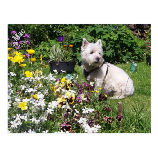Mac, Westhochland weißes Terrier Westie Postkarte