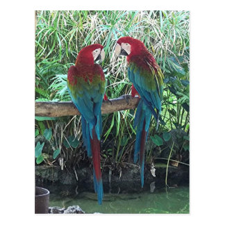 Macaws Postkarte