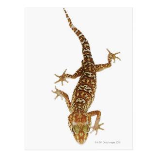 Madagaskar Grundgecko (Paroedura pictus) an Postkarte