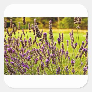 Magic Lavender Quadratischer Aufkleber