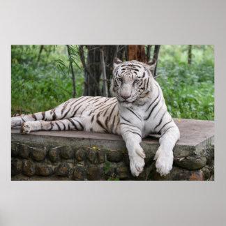 Majestätischer bengalischer weißer Tiger Poster