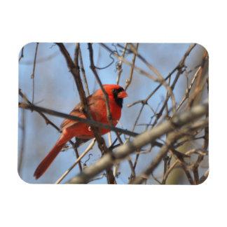 Majestätischer Kardinal Magnet