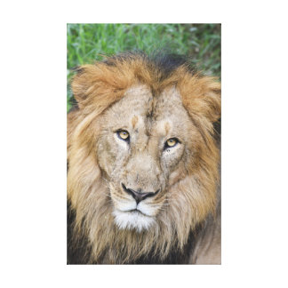 Majestätischer Löwe-König Leinwanddruck