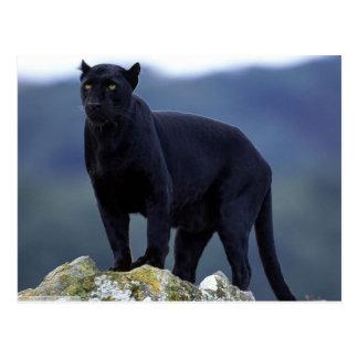 Majestätischer schwarzer Panther Postkarten