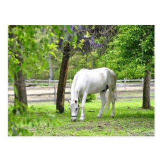 Majestätisches weißes Pferd Postkarte