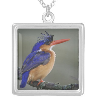 Malachit-Eisvogel, Alcedo cristata, See Versilberte Kette