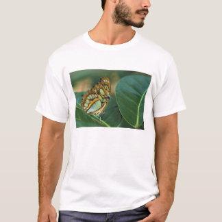 Malachit-Schmetterling, Siproeta stelenes, T-Shirt