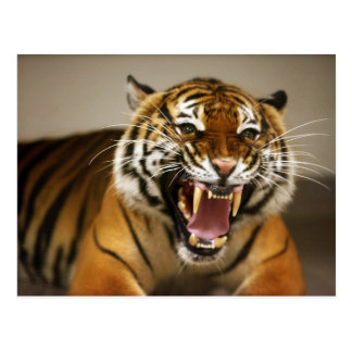 Malaiische Postkarte des Tigers #2