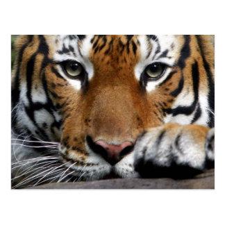 Malaiische Postkarte des Tigers #3