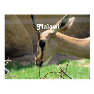 Malawi-Gazelle Postkarte