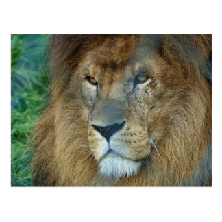 Male Lion (Loewe) Postkarte
