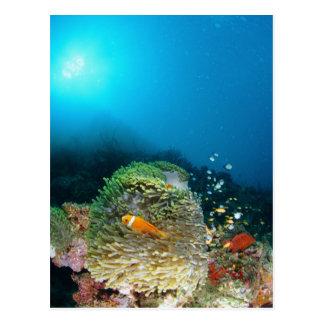 Malediven-Anemonenfische, die underwater schwimmen Postkarte