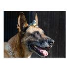 Malinois ( Hund)  mit Blaumeise Postkarte