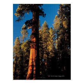 Mammutbaum-Nationalpark, Kalifornien 2 Postkarte
