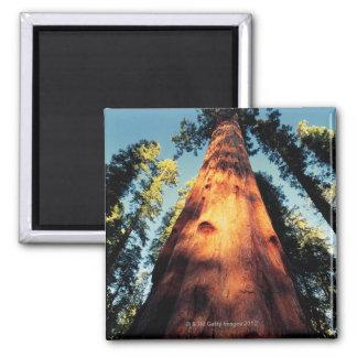 Mammutbaum-Nationalpark Kalifornien 3 Magnete