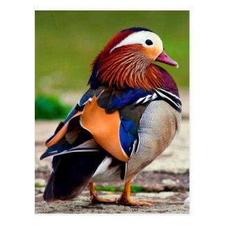 Mandarin Duck  (Aix galericulata) Postkarte