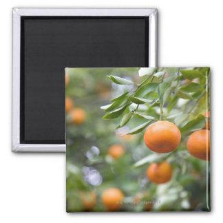 Mandarinen, die im Baum hängen Quadratischer Magnet