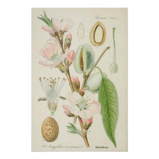 Mandelbaum, Amygdalus communis, Poster