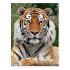Männliche schöne Fotohauptpostkarte des Tigers Postkarte