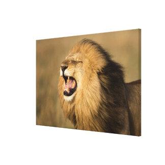 Männlicher brüllender Löwe Leinwanddruck