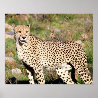 Männlicher Gepard Poster